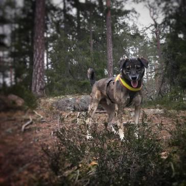 Hunden Gemini väntar på att jag ska ta mig upp till toppen