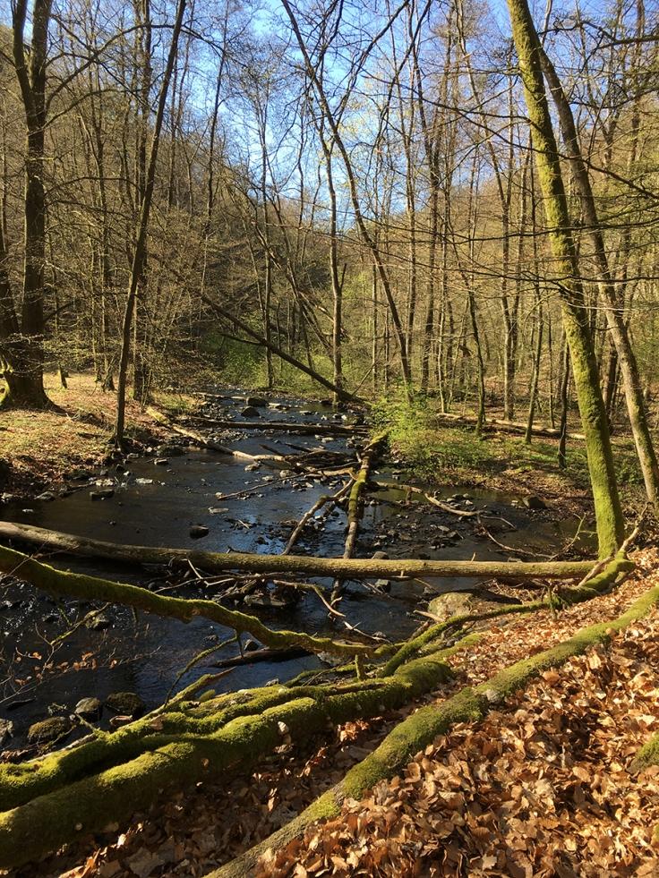 Många träd längs ån är helt mossbeklädda