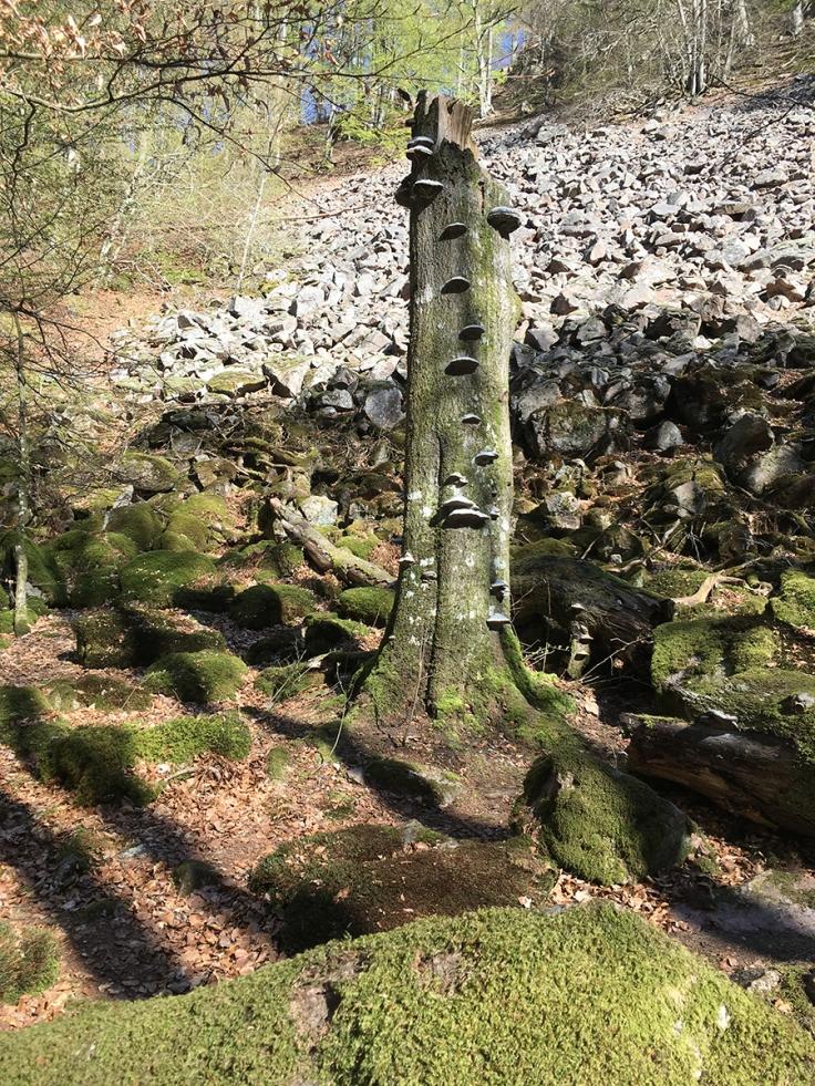 Döda träd med tickor fanns det gott om längs Hjortsprångsrundan