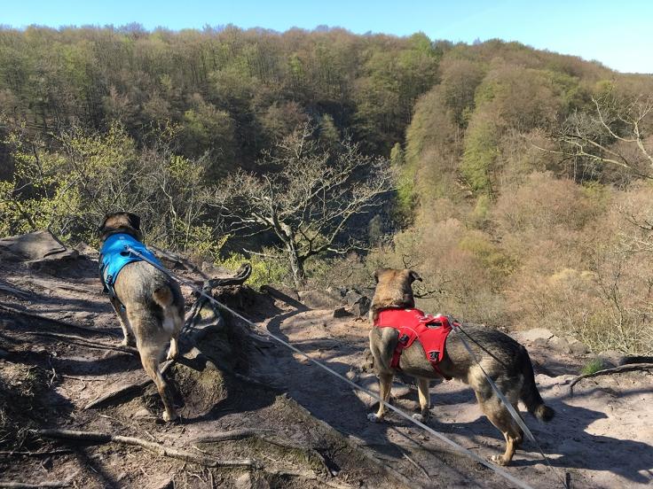 Hundarna tittar ner i ravinen vid Lierna