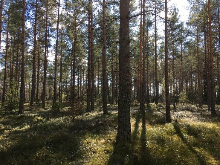 Sådan här härlig tallskog går man igenom på flera ställen längs sträckan