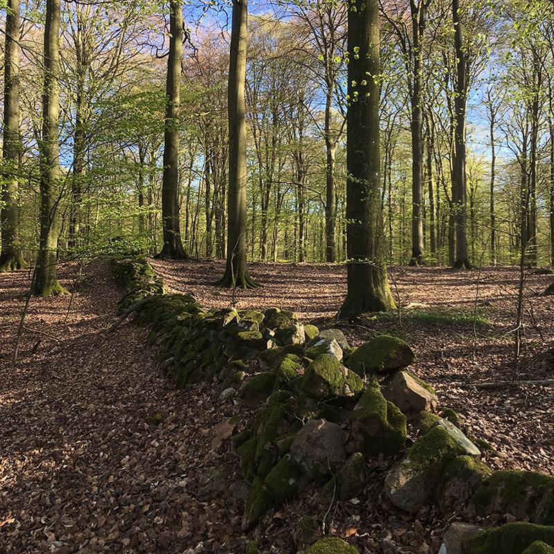 En vacker stenmur i bokskog