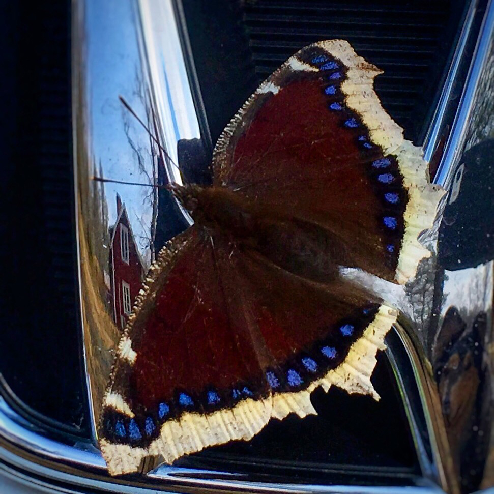 Sorgmantel - Nymphalis antiopa - en av våra praktfjärilar