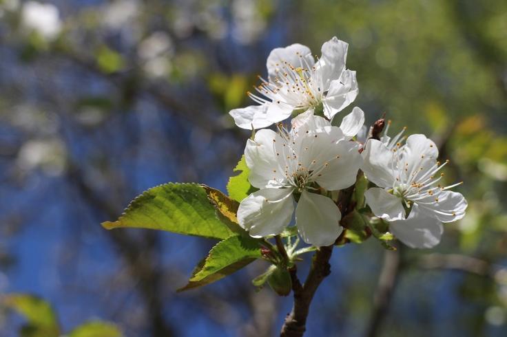 Körsbärsblommor är för mig höjden av skönhet