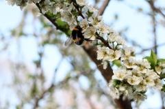 Äppelblom, Malus domestica