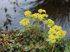 Gullpudra, Chrysosplenium alternifolium