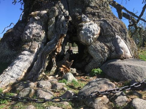 När man ser Linda där på andra sidan trädet förstår man hur gigantisk denna ek faktiskt är