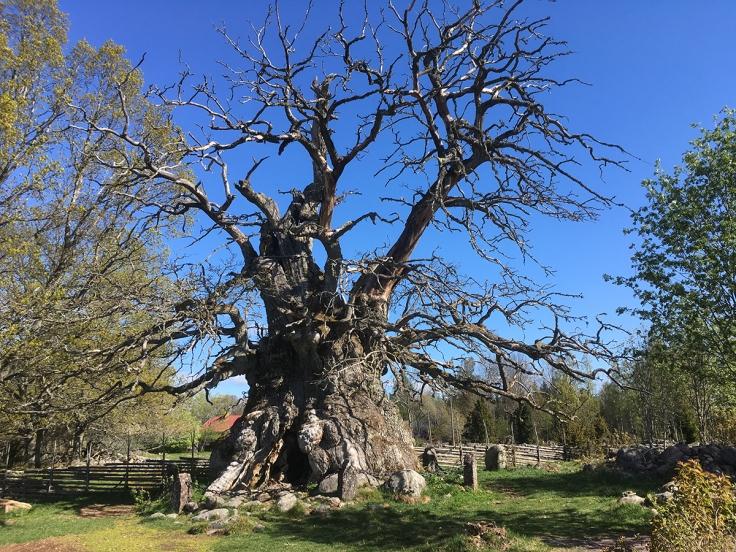 Kvilleken (Rumskullaeken) är Sveriges största och äldsta träd och har en omkrets på hela 13 meter