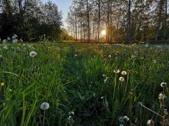 Ängsmark i kvällningen