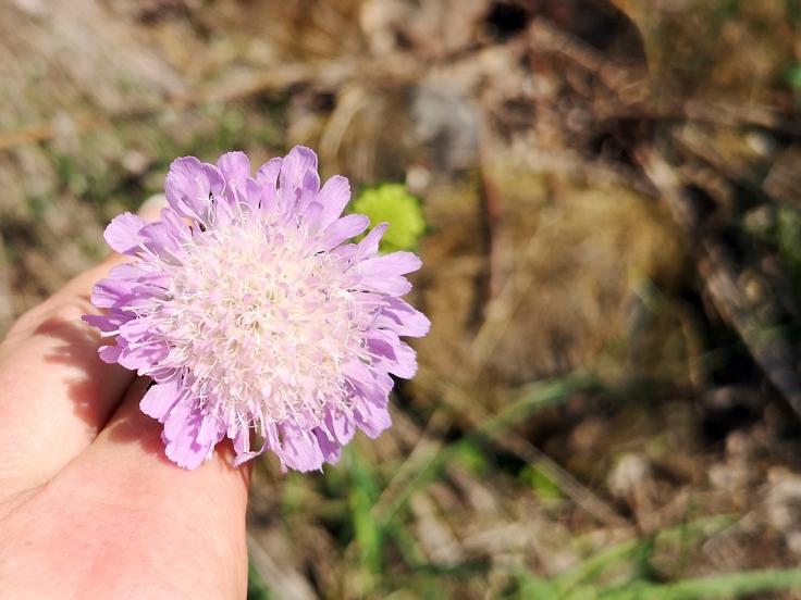 Årets första åkervädd (knautia arvensis)