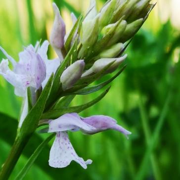 Samma blomma men på lite närmare håll