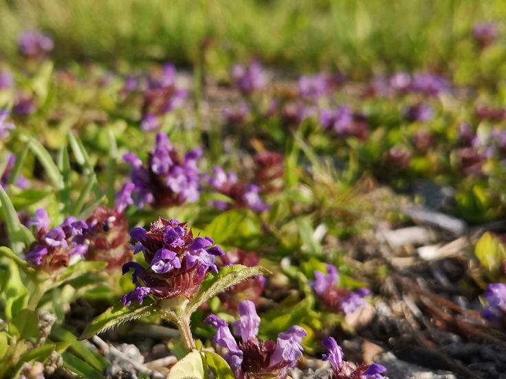 Brunört - en av Sveriges vanligaste blommor. Den är så liten och oansenlig att man sällan tittar på den två gånger, men när man väl gör det upptäcker man hur vacker den är.