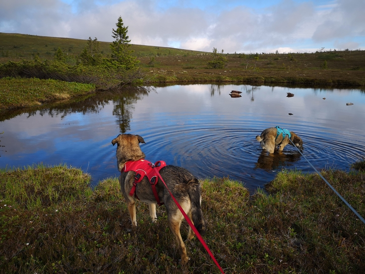 När man vandrar med hund är det guld värt att det finns vatten längs vägen