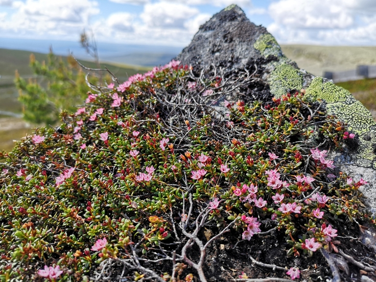 Purpurbräcka (Saxifraga oppositifolia)