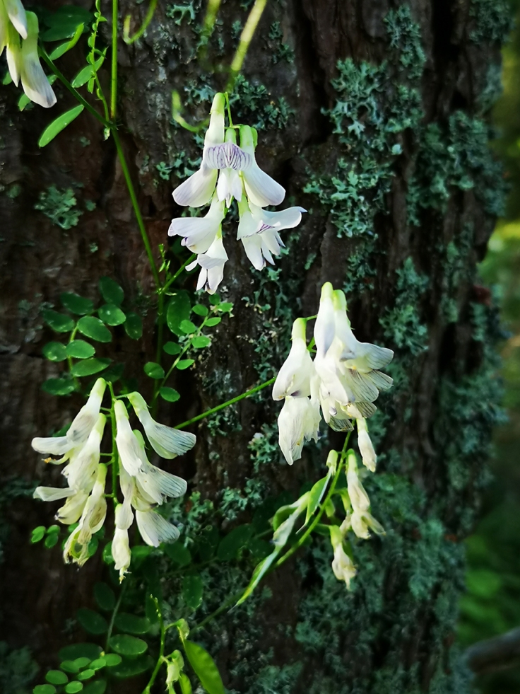 Skogsvicker, Vicia sylvatica
