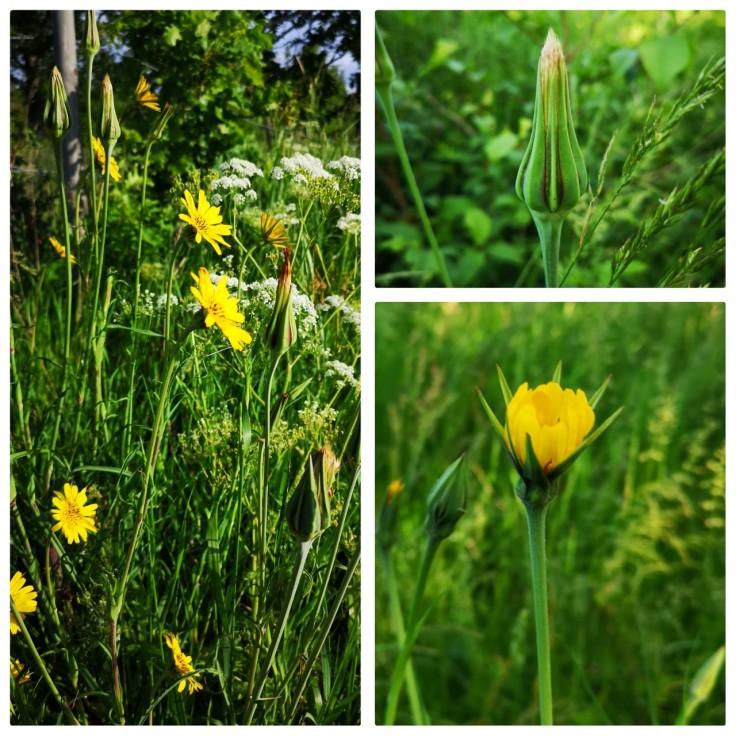 Ängshaverrot i olika stadier. Efter att jag upptäckte denna växt i torsdags läste jag på om den och fick lära mig att blomman bara är öppen på förmiddagarna - om solen är framme då. Det var roligt att få se hur den ser ut stängd (nere till höger) och som knopp (uppe till höger).