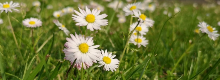 Tusenskönorna ser jag nu dagligen i olika färgnyanser och i olika höjd på gräsmattor och ängar omkring mig