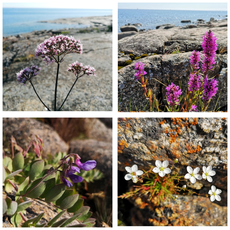 Växter från klipphällarna vid havet: Flädervänderot - Valeriana sambucifolia Fackelblomster - Lythrum salicaria Strandvial (strandört) - Lathyrus japonicus Knutnarv - Sagina nodosa