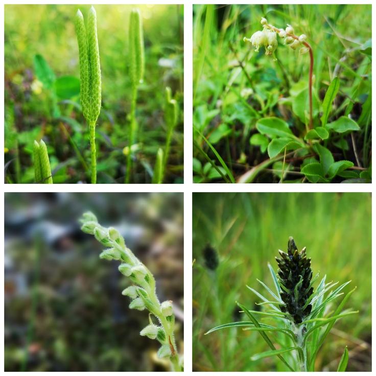 Lite gröna och mer diskreta växter: Mattlummer - Lycopodium clavatum Björkpyrola - Orthilia secunda Orkidén knärot i knopp - Goodyera repens Skogsnoppa - Gnaphalium sylvaticum