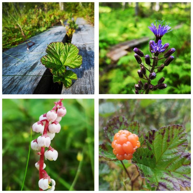 Norrlandsmix: Hjortron - Rubus chamaemorus Torta (fjälltolta) - Cicerbita alpina Klotpyrola - Pyrola minor Hjortron - Rubus chamaemorus