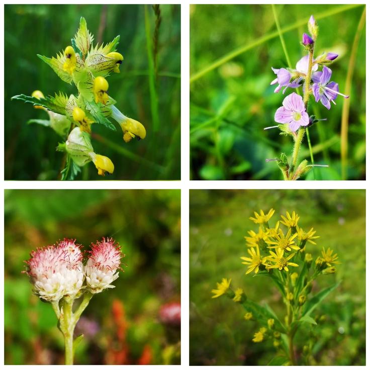 Blommor längs vägkant Höskallra - Rhinanthus serotinus Ärenpris - Veronica officinalis Kattfot - Antennaria dioica Gullris - Solidago virgaurea (för finnas hemma med)