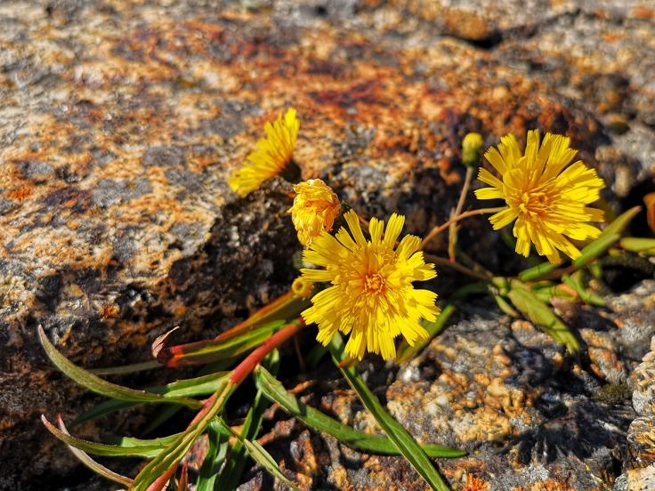 Strandmaskros - Taraxacum sect. Palustria