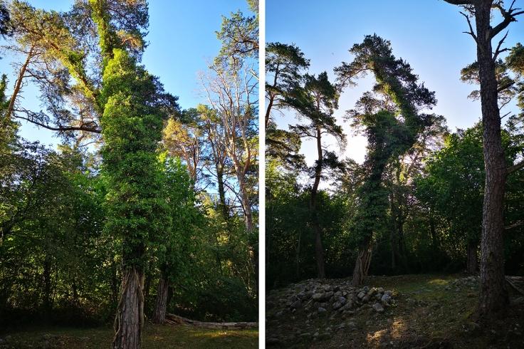 Murgrönan slingrar sig runt träden