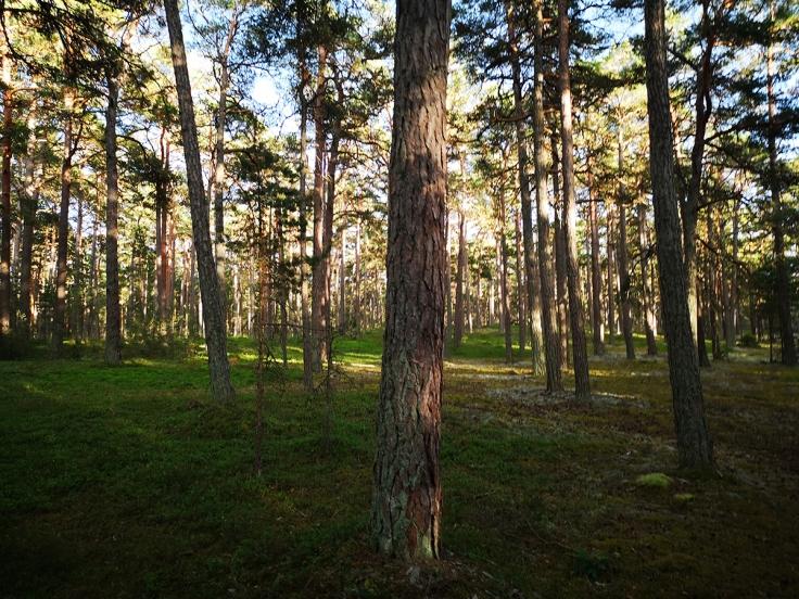 Vacker tallskog vid sidan av vägen