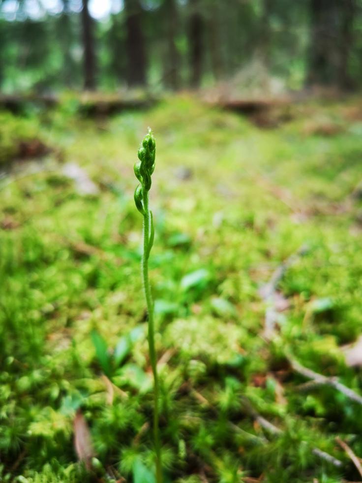 Knärot (goodyera repens) som ännu inte blommar