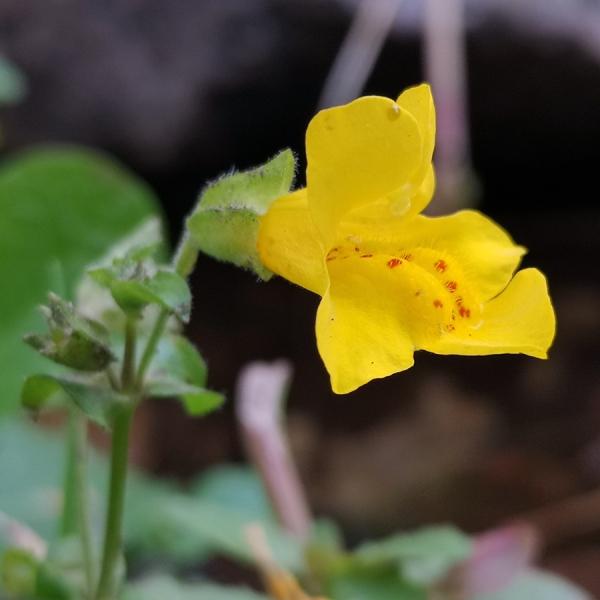 Gyckelblomma - Mimulus guttatus