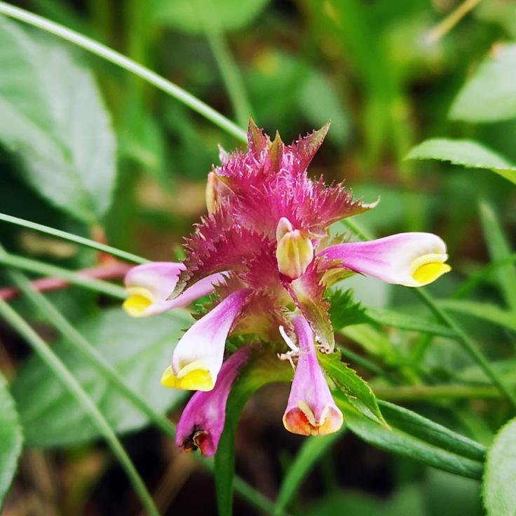 Korskovall (Melampyrum cristatum)