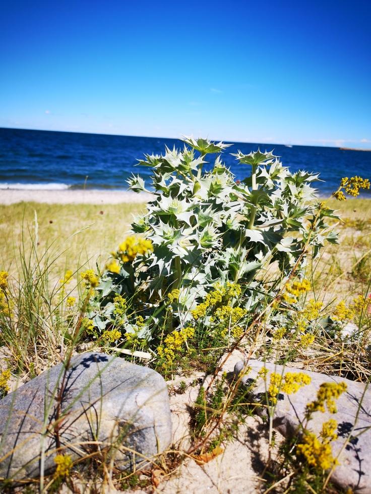 Den ovanliga havsstrandsväxten martorn (Eryngium maritimum)