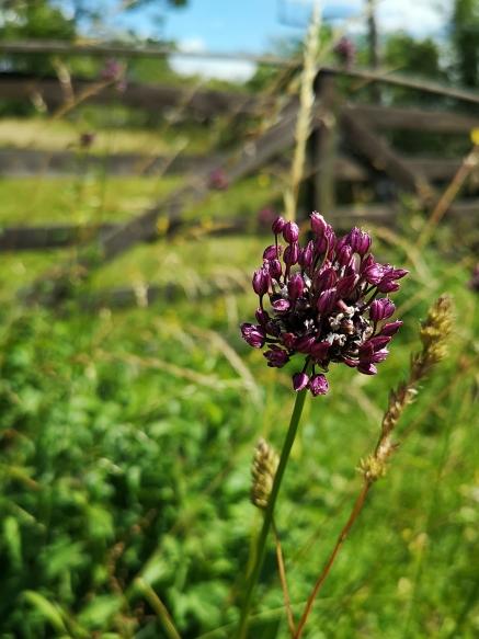 Skogslök (Allium scorodoprasum)