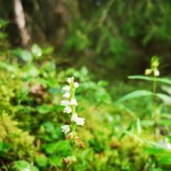Knärot (liten orkidé) - Goodyera repens