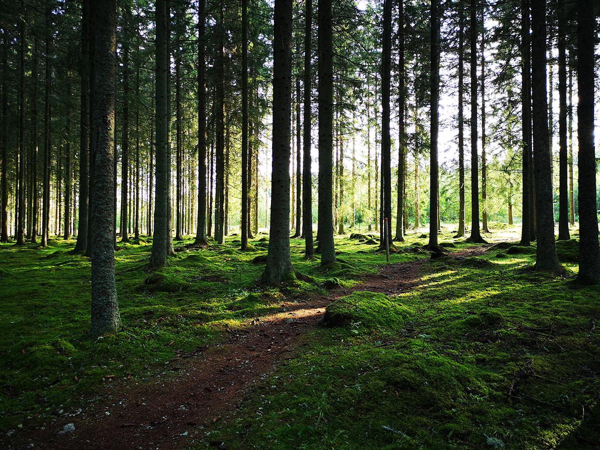 Morgonljuset lyser upp de mörka småländska skogarna