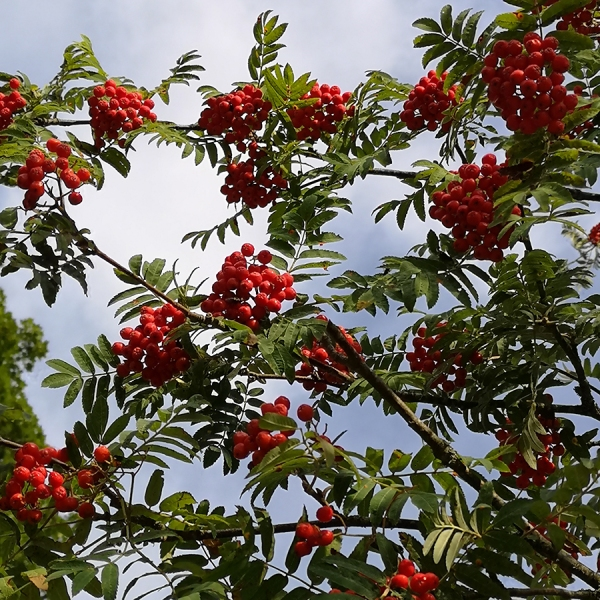 Rönnbär - Sorbus aucuparia