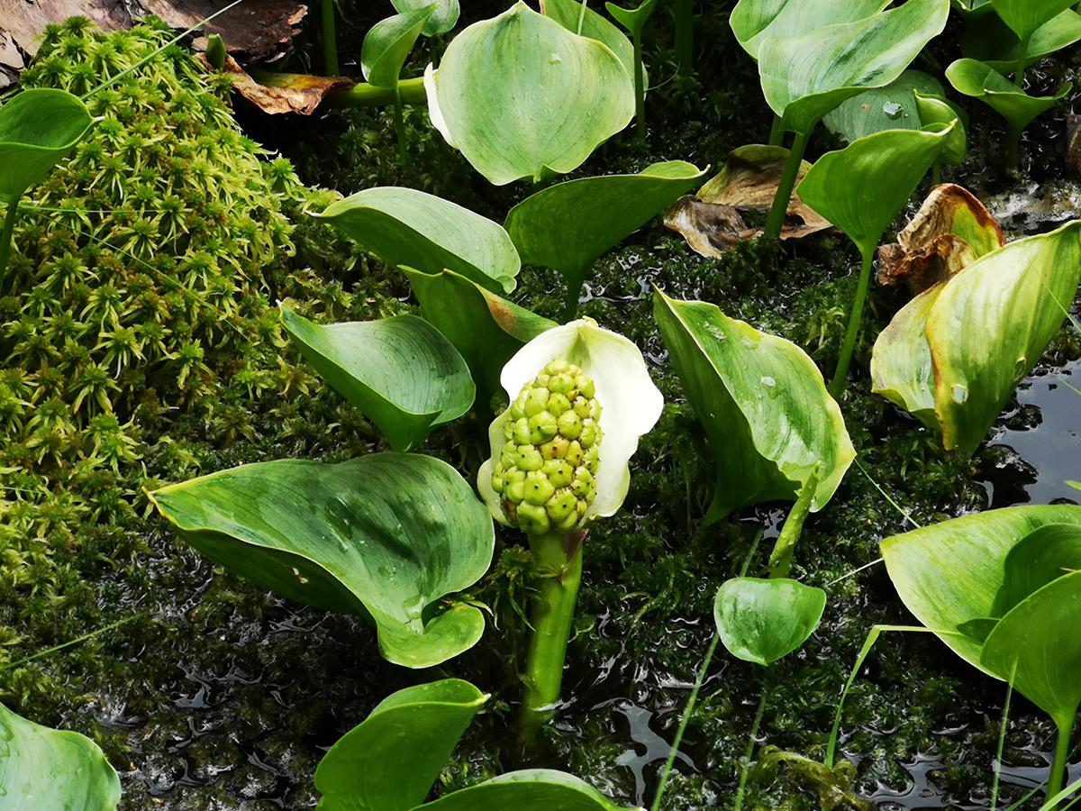 Missne - Calla palustris