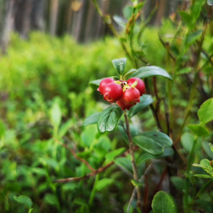 Lingon - Vaccinium vitis-idaea