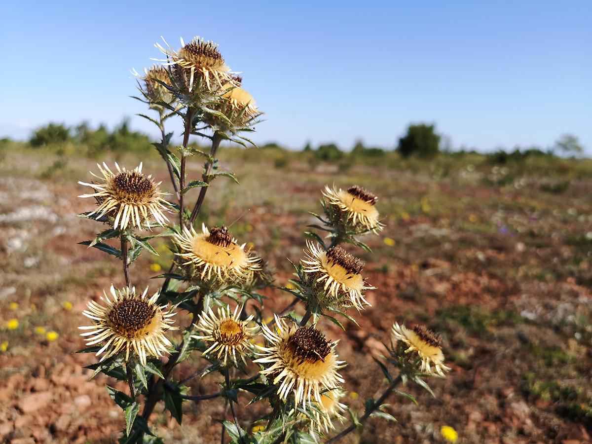 Spåtistel - Carlina vulgaris