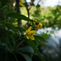 Strandlysing - Lysimachia vulgaris