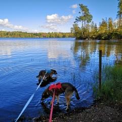 2 av 3 hundar vid Davidtorpasjön